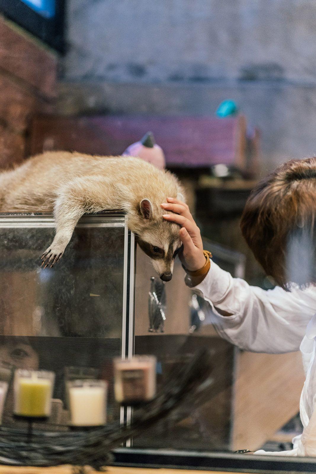 19 Photos That Take You Inside A Raccoon Café Raccoon