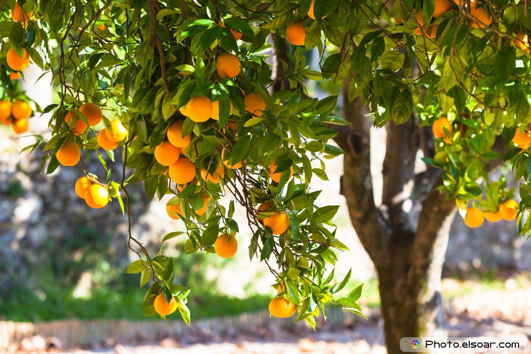Orange-tree-with-ripe-fruits-in-sunlight.jpg (1800×1200)