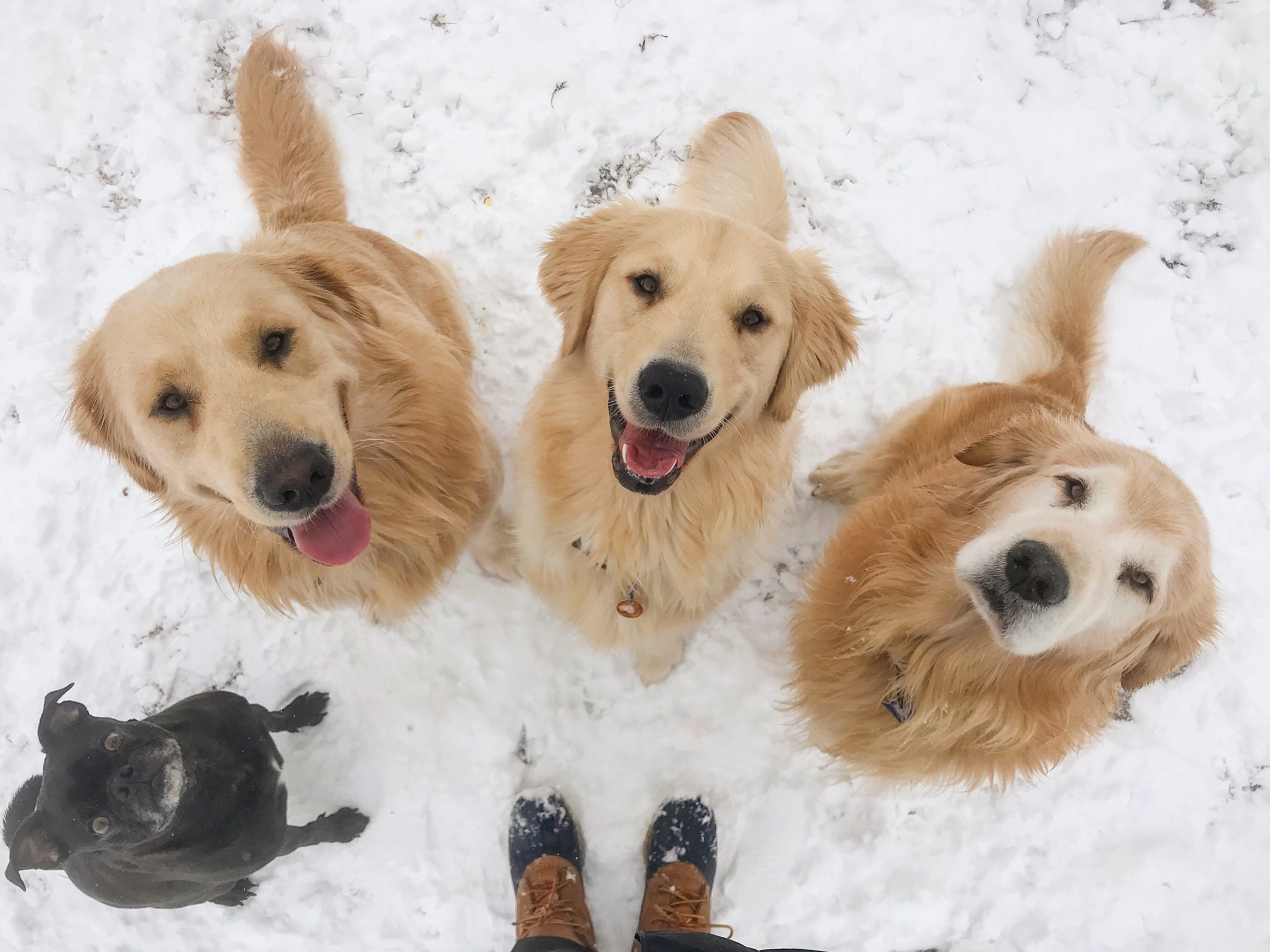 Golden Retriever Father And Sons With Best Bud A Boston Terrier