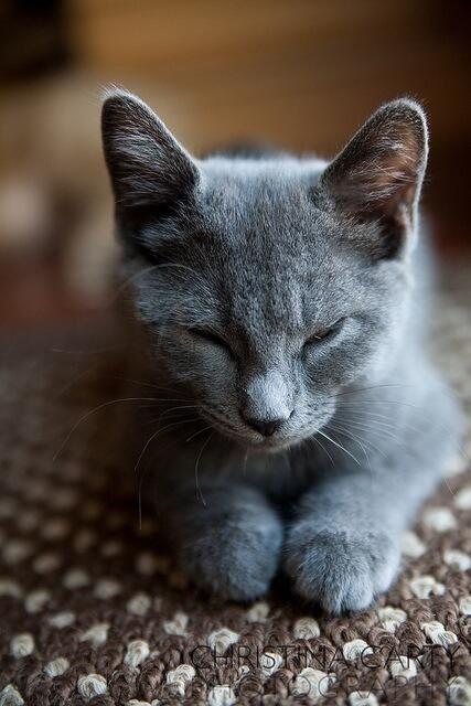 Russian Blue Petit Felin Chats Gris Photo Chat