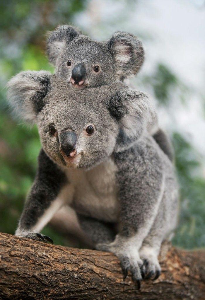 Photo De Koala Bebe