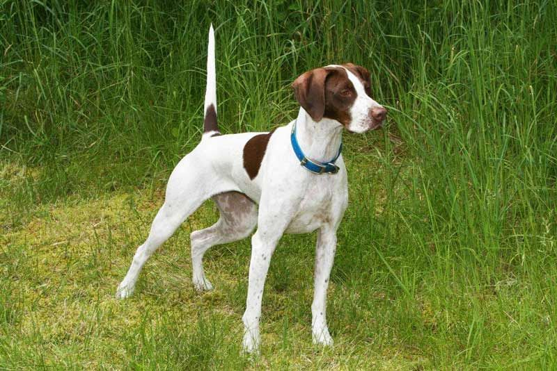How To Make Passion Convincing Hunting Dogs Pointer Dog German