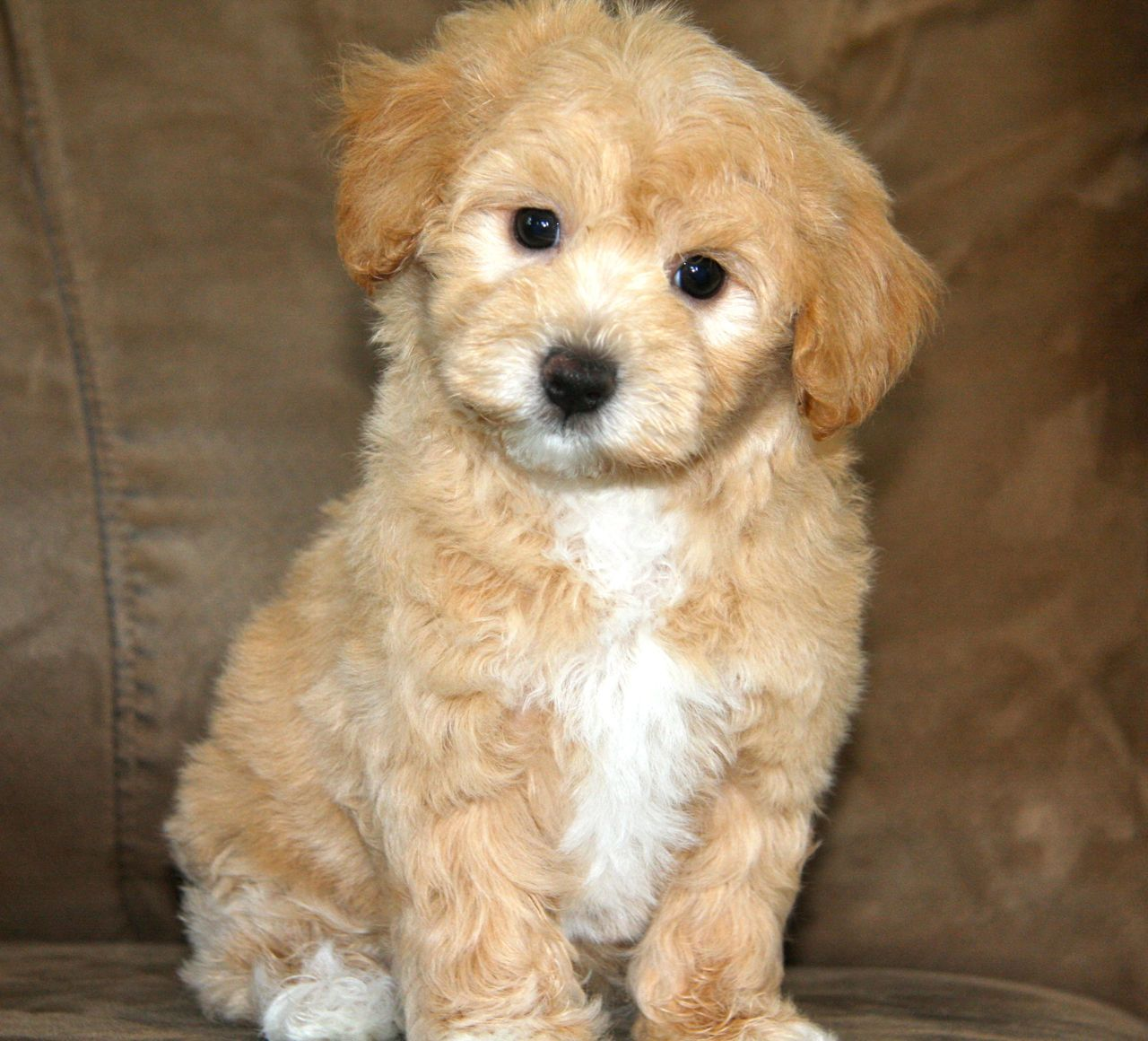 Apricot Maltipoo Puppy of Maltipoos we have already