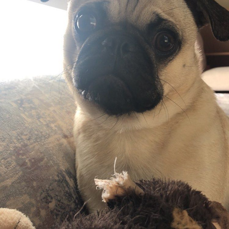 What Do You Mean My Monkey Has No More Ears To Chew Mookie Pug