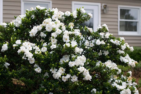Gardenia Jasminoides Crown Jewel Pbr Gardenia Evergreen