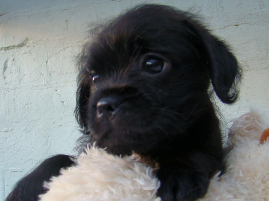 For Sale Pug X Poodles 2 Brothers And A Sister 9 Weeks Puppies