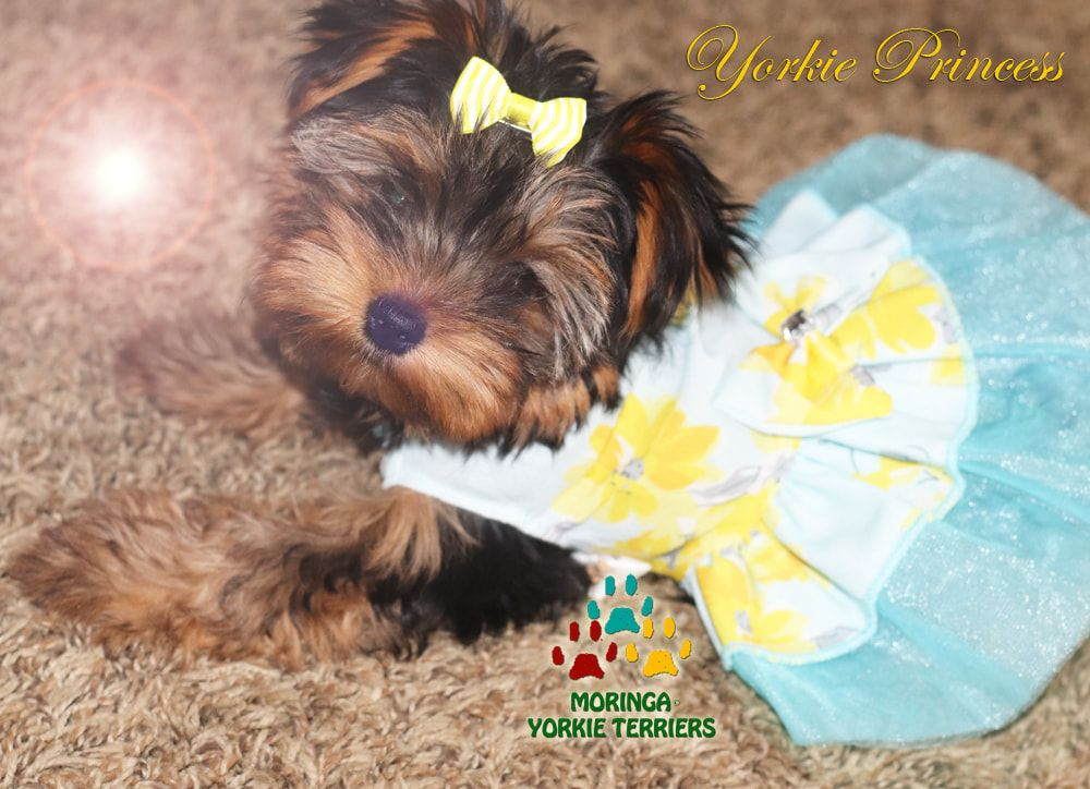 Teddy doll face Yorkies for sale our princess 👑 Toy