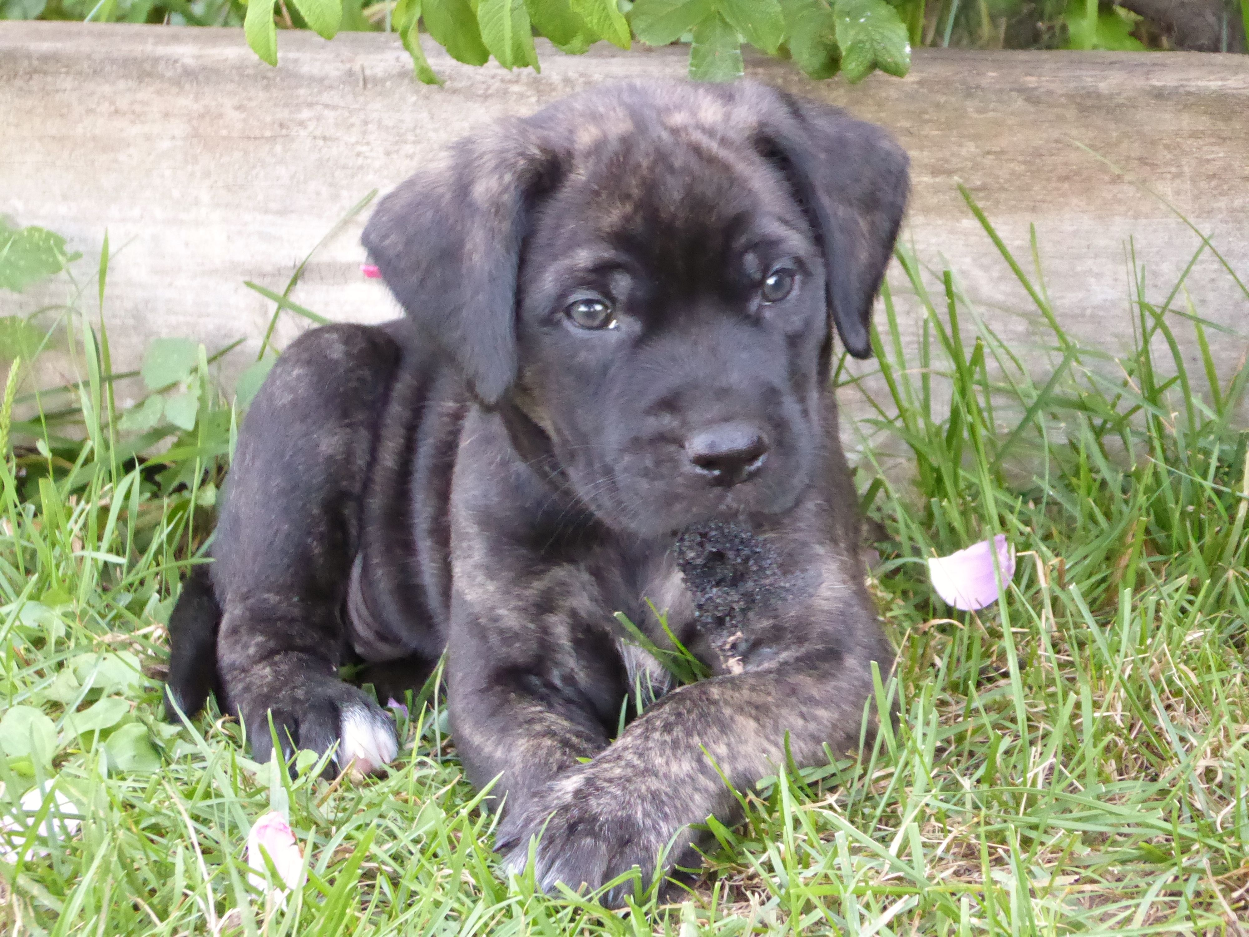Cleo Six Week Old Mastador Puppy Shows Her Sweetness And
