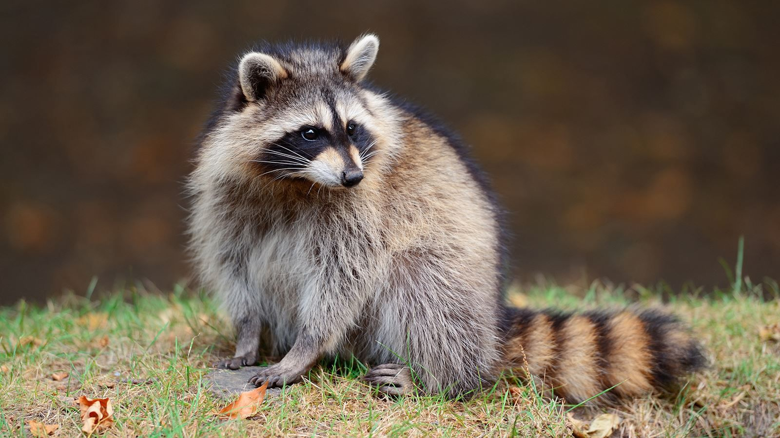 Image result for raccoon eating Deadly animals, Animals