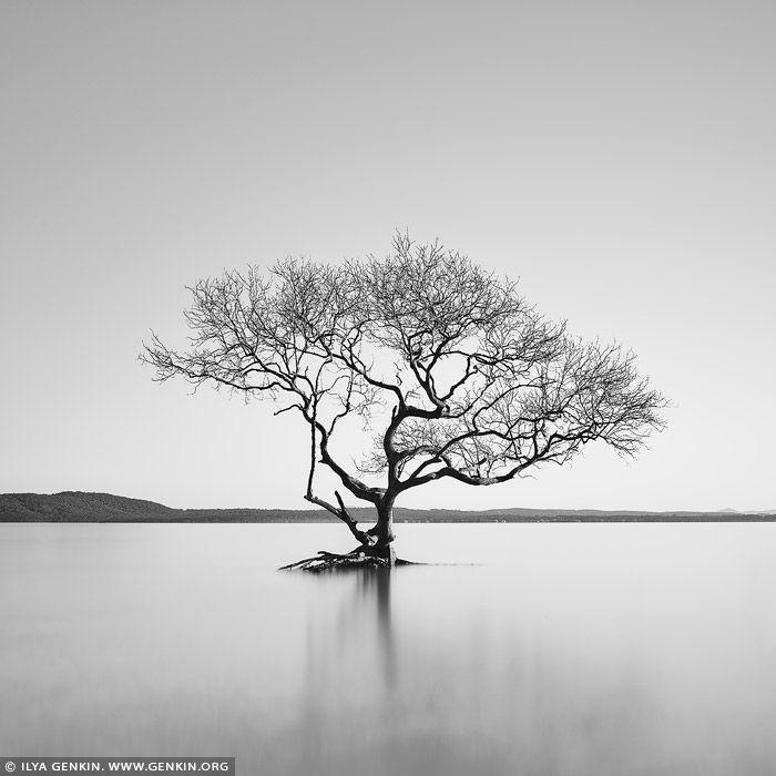 Australian Lone Tree Of Lake Wanaka Salamander Bay Port Stephens