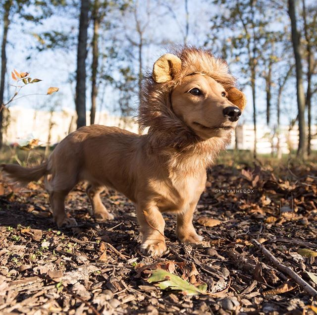 Warning There S A 10lb Lion On The Loose Will Respond To