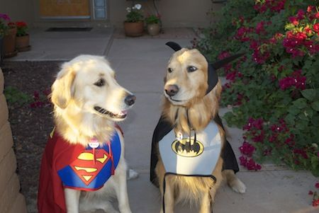Golden Retriever Superman And Batman Halloween Costumes Golden