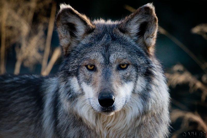 grey wolf with blue eyes   Cinder: dark grey she-wolf. She ...