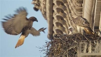 Please help Pale Male and Lola rebuild thier nest, thank you! by zenera, via Flickr