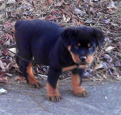 Very Cute Rottweiler Pups For Sale For Sale In Liverpool Very