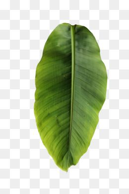 Banana Clipart In Kind Banana Leaves Leaf Plant Green Summer Botany Png Picture Hd Pictures Kind Banana Leaves Png P Plant Art Print Plant Texture Leaf Clipart