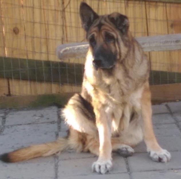 Adopt Ginny On German Shepherd Dogs Shepherd Dog Shar Pei