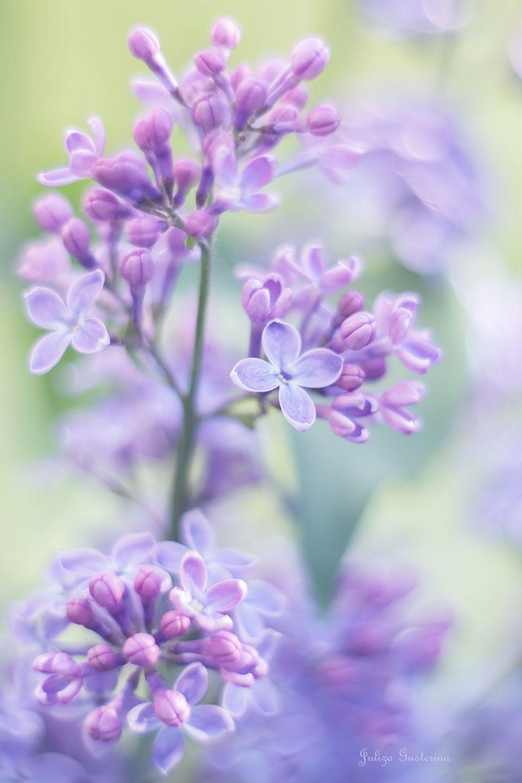 lilac by kim1971