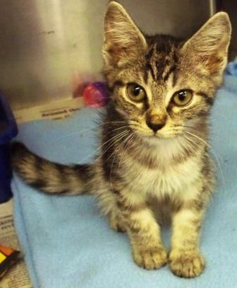 Hello! My name is Fred and I am a 4 month old male kitten. I am a little small for my age because I had a rough start. love my chin scratched a lot. I am being fostered by a staff member. If you are interested in me, please call the ARL at 610-373-8830 and ask for Sue!