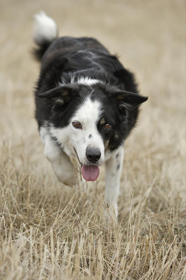 Border Collie Alberta Canada By Darwin Wiggett Border Collie