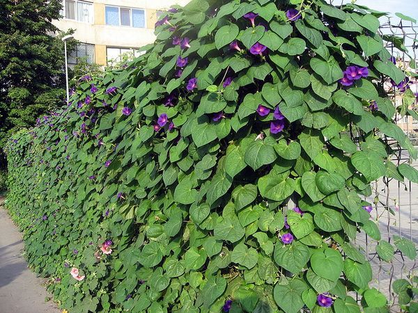 Fence Full Of Morning Glory Privacy Landscaping Backyard Backyard Plants Privacy Landscaping