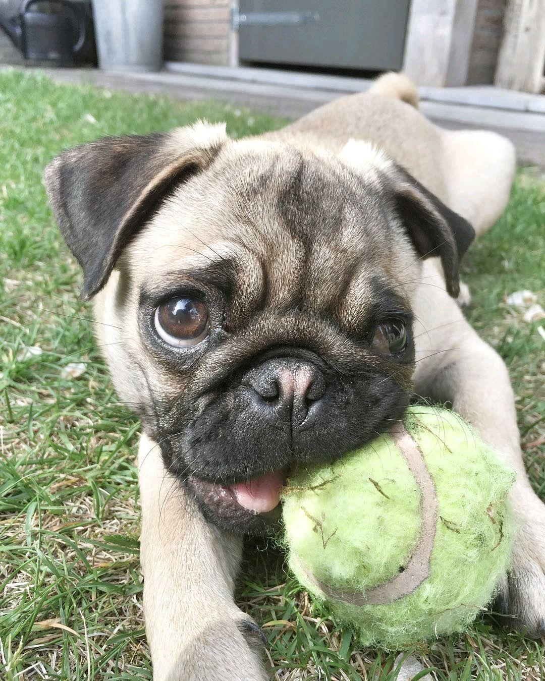 Who Wants To Play With Me Livthepugg Come Bark With Us