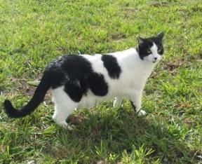Meet Honey A Petfinder Adoptable Domestic Medium Hair Black And White Cat Gold Beach Or Honey Is A Very Sweet Kitty Who Loves To Rol Cats White Cat Kitty
