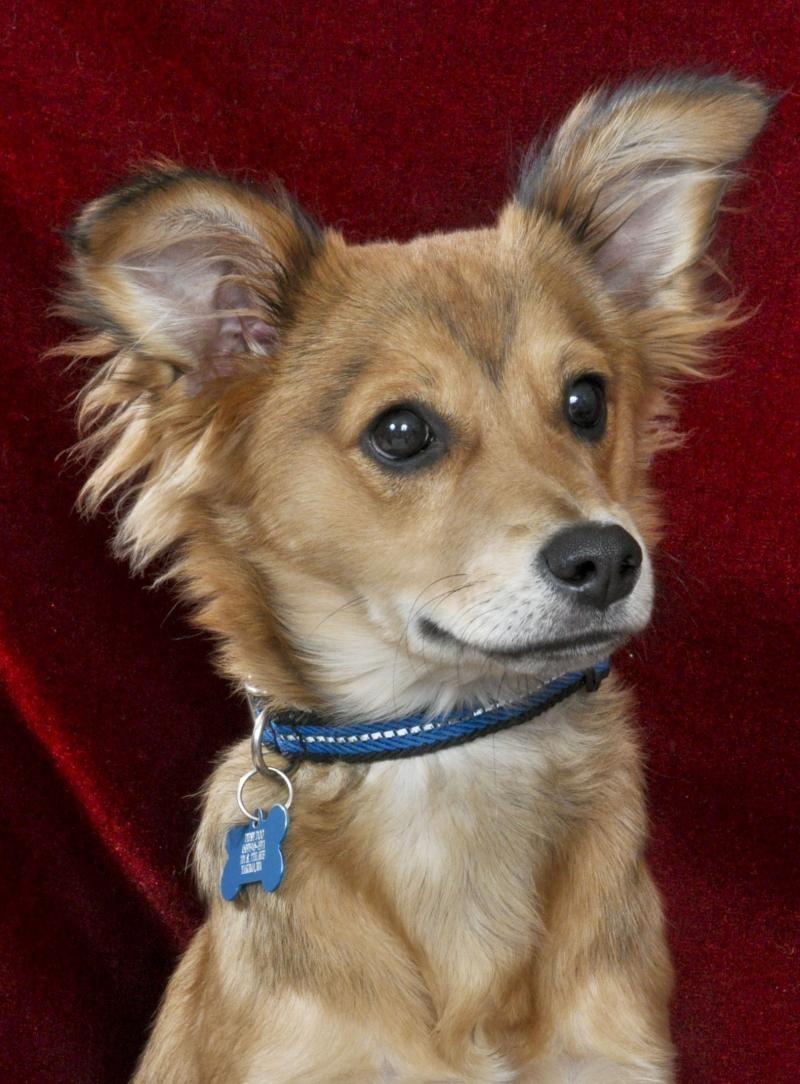 Adopt Dipsy Do Adoption Pending On Petfinder Doggy Sheltie Dogs Shetland Sheepdog