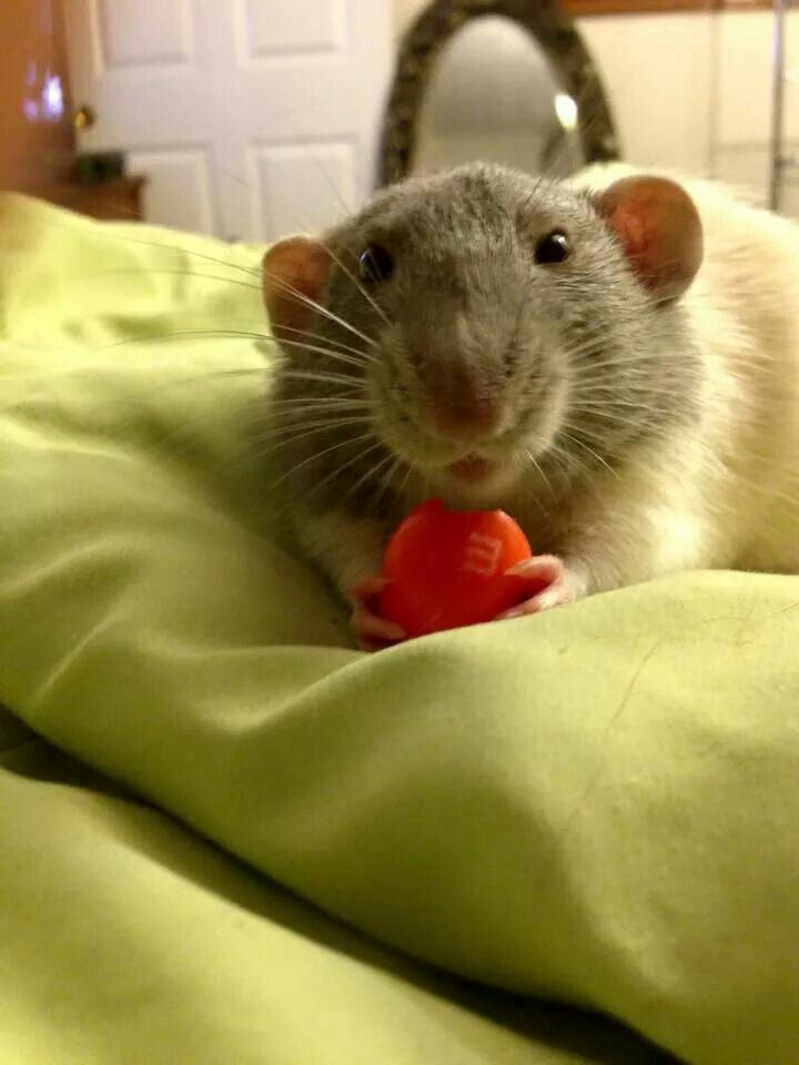 How can you resist this face?!!! Ratatouille i.e. Rat