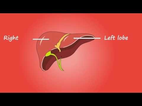 Liver Anatomy Medical Education Hd Video F1 Digitals Medical