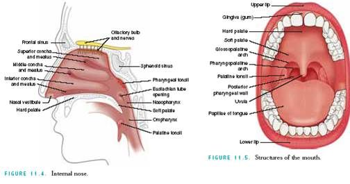 06 assessment of nose mouth and throat nursing pinterest assessment of nose mouth and throat ccuart Image collections