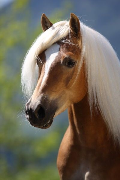 58864a791c78b Haflinger - Wintersturm - by Christiane Slawik   Horses, Ponies ...