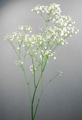 Gypsophila Gypsophila Gypsophila Elegans Gypsophila Flower