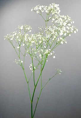 Gypsophila Gypsophila Gypsophila Flower White Flowers