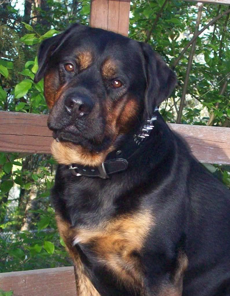D 796 English Mastweiler Mastiff Rottweiler Designer Dogs