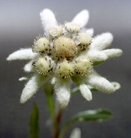 Austrian Edelweiss Grows In The Mountains Bunga Bunga Cantik Asli