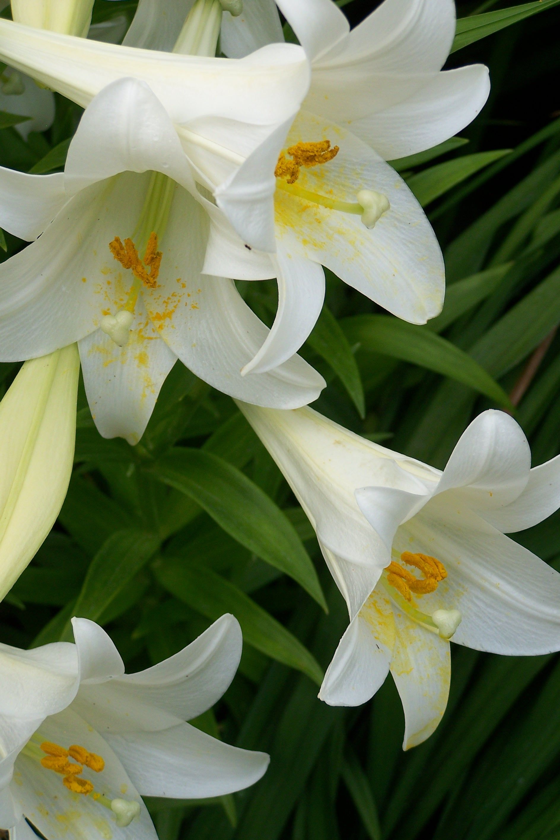 Lilium Longiflorum Better Known As Easter Lily Native To The