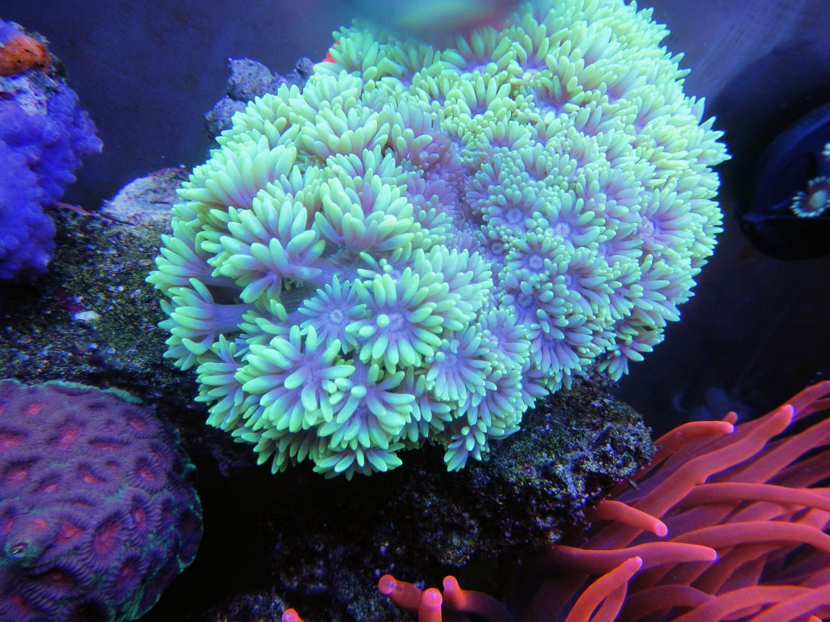 Neon goniopora fishes corals pinterest neon for Neon aquarium