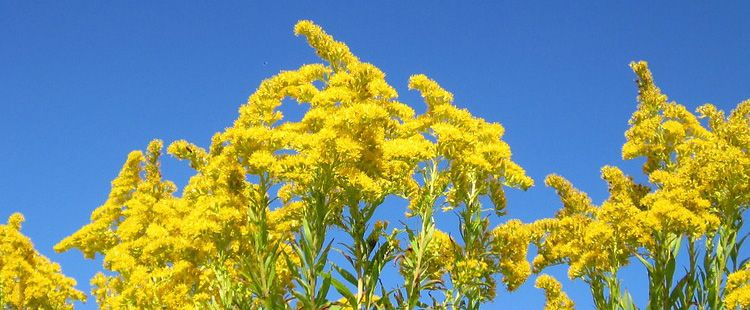 Kentucky State Flower The Goldenrod Proflowers Blog Kentucky State Flower Yellow Plants Kentucky State