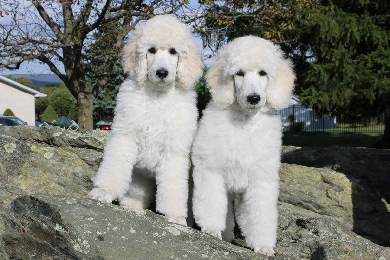 South Mountain Standard Poodles Standard Poodle Dog Benefits
