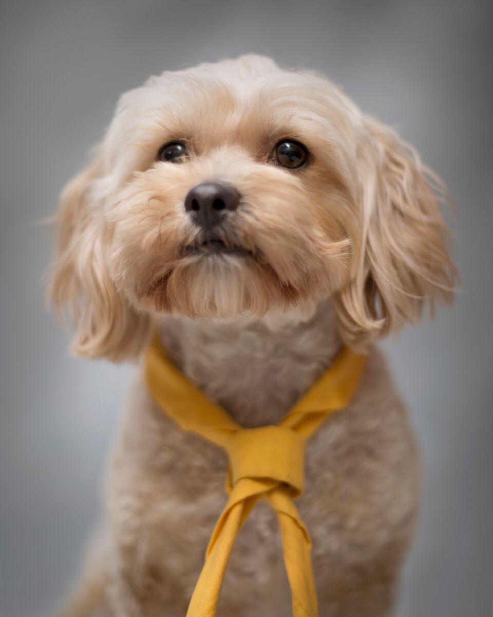 Dexter Tiboodle Tibetan Spaniel X Poodle Pawshake Dogs Doggy