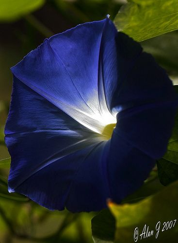 Indigo Morning Glory