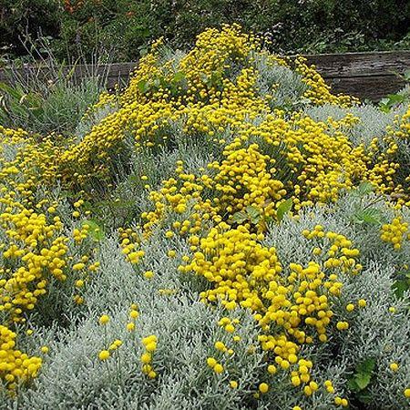santoline plantes m dicinales pinterest jardins. Black Bedroom Furniture Sets. Home Design Ideas
