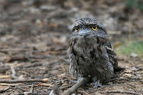 Sweetness Sweetness I Was Only Joking When I Said Beautiful Owl Owl Beautiful Birds