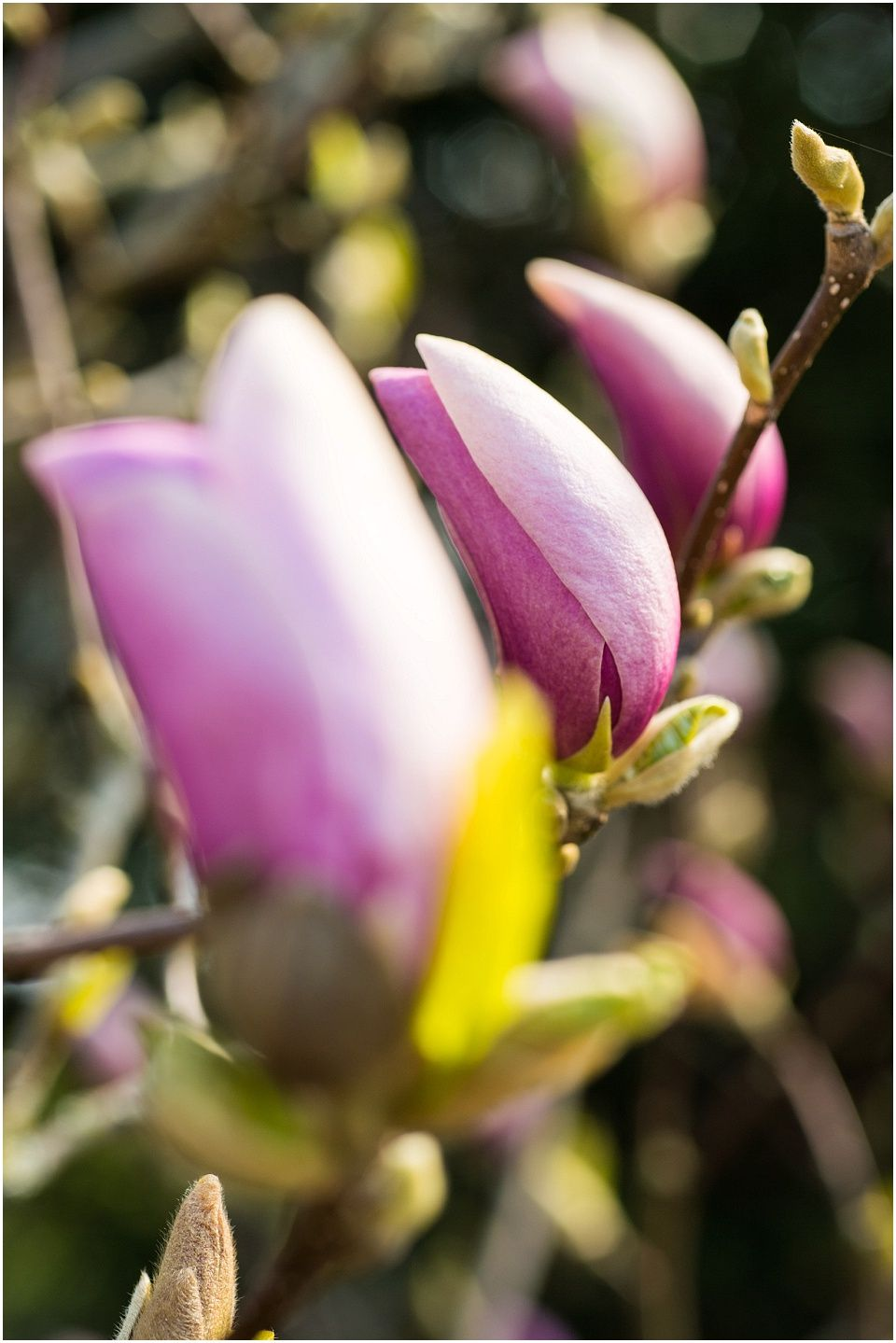 Magnolia Flower, Photo by Monika Lauber, Location: Botanical Garden, Hamburg, Germany