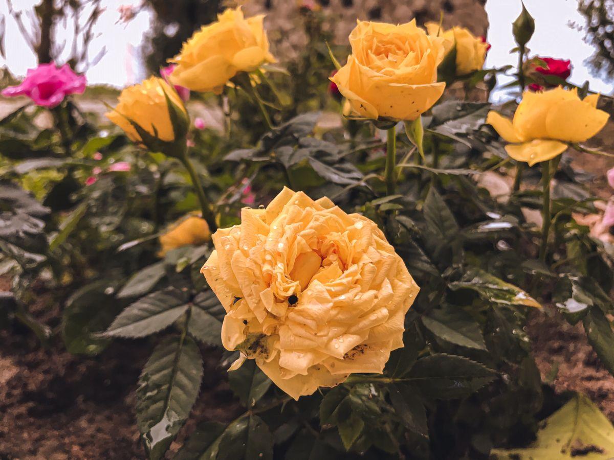 ورد اصفر Rose Flowers Plants