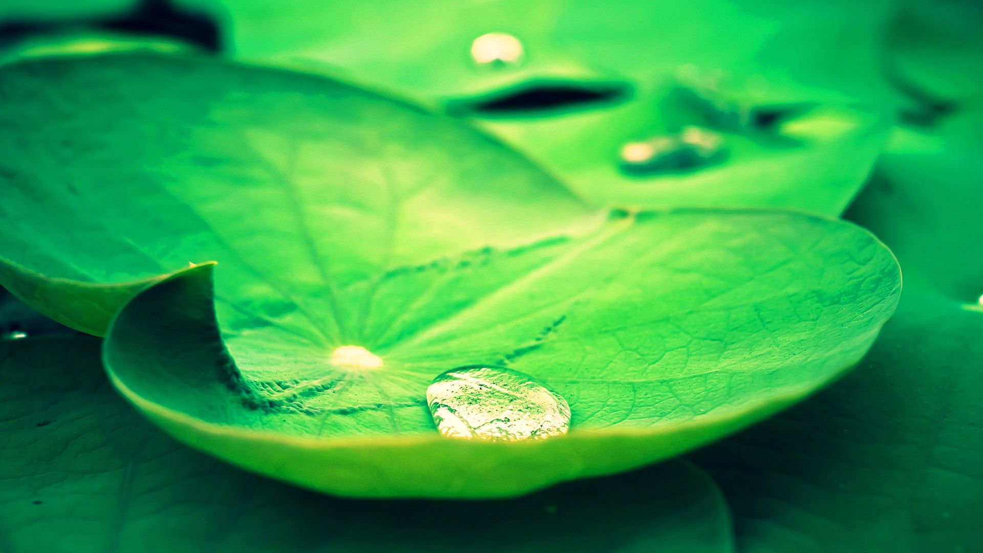 Fresh Lotus Leaves Hd 1080p Wallpapers Download Places To Visit