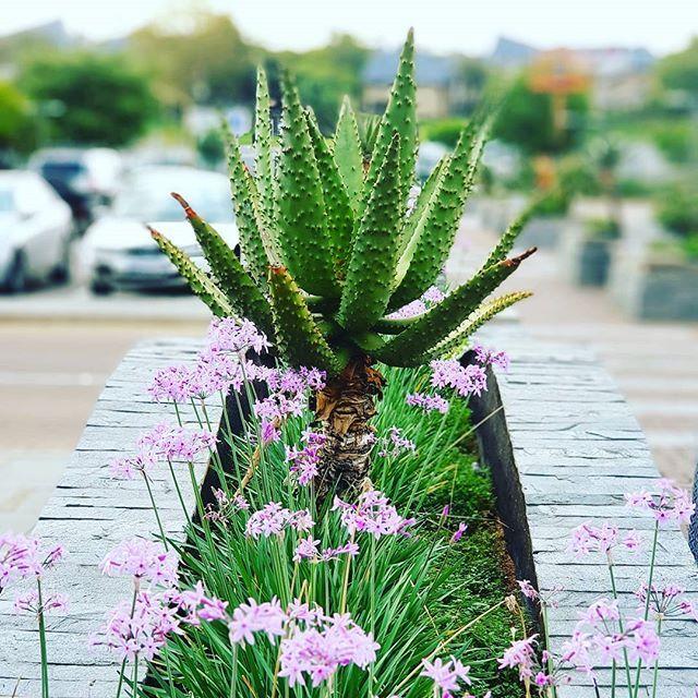 The Lovely Flowers and Cactus #Jozi #GalaxyNote8 #DoBiggerThings #TheLifesWay #Photoyatra . . . . . #photographyeveryday #mobilePhotography #SmartphoneCamera #aashishRai #Blogger #SocialMediaInfluencer #Travel #SeePlaces #JohannesburgCityLife #Flowers #instaframe #instadaily #PicknPay #WilliamNicole #ig_myshot #shotwithlove #icatching #walkingwithcamera #photographerwithpassion www.thelifesway.com