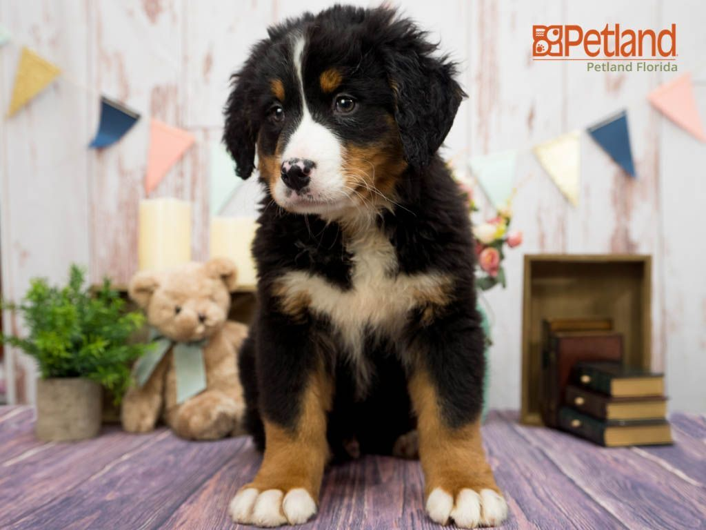Puppies For Sale In 2020 Puppy Friends Bernese Mountain Dog Puppy Puppies