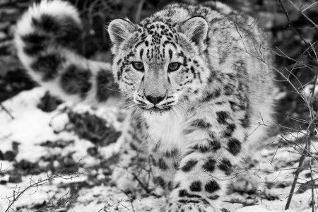 Big Cat Fossils Suggest Central Asian Origins of the Species